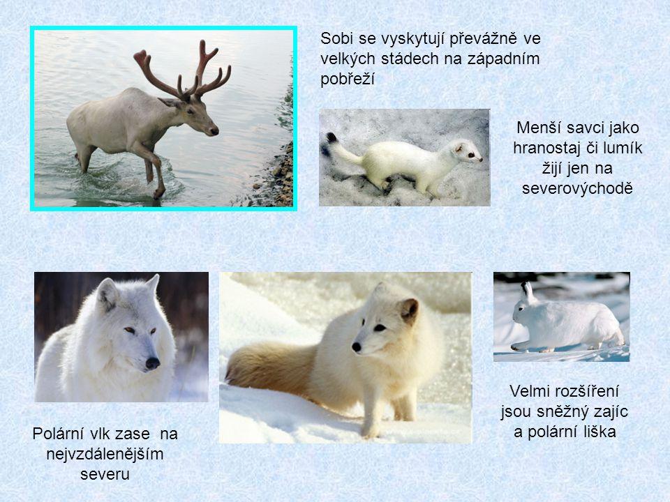 Sobi se vyskytují převážně ve velkých stádech na západním pobřeží Menší savci jako hranostaj či lumík žijí jen na severovýchodě Polární vlk zase na nejvzdálenějším severu Velmi rozšíření jsou sněžný zajíc a polární liška