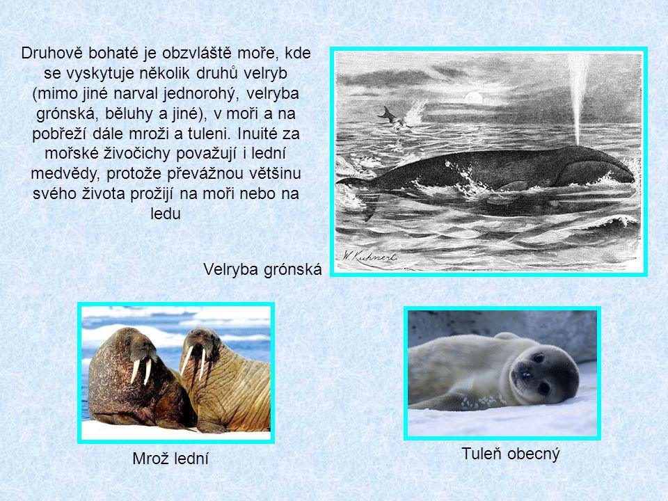 Velryba grónská Mrož lední Tuleň obecný Druhově bohaté je obzvláště moře, kde se vyskytuje několik druhů velryb (mimo jiné narval jednorohý, velryba grónská, běluhy a jiné), v moři a na pobřeží dále mroži a tuleni.