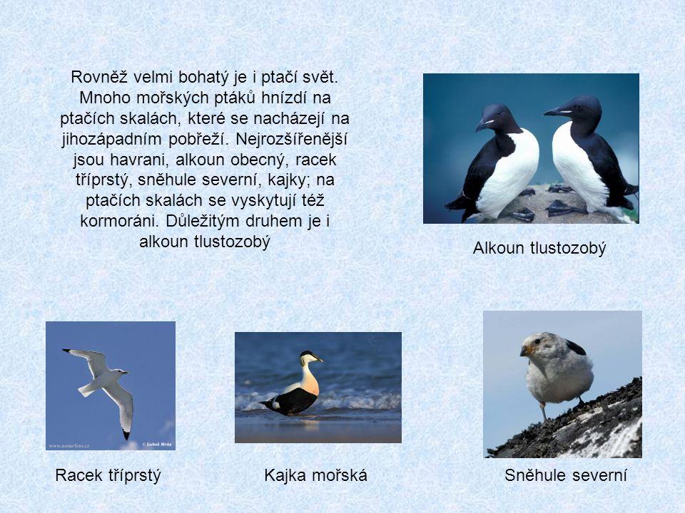 Racek tříprstýKajka mořskáSněhule severní Rovněž velmi bohatý je i ptačí svět.