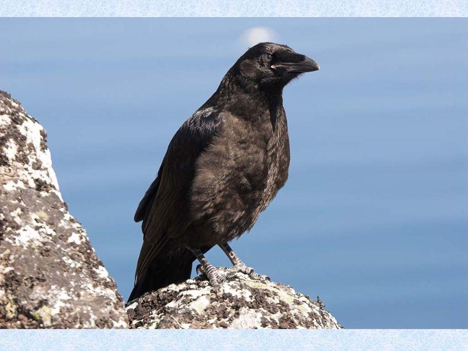 Racek tříprstýKajka mořskáSněhule severní Rovněž velmi bohatý je i ptačí svět. Mnoho mořských ptáků hnízdí na ptačích skalách, které se nacházejí na j