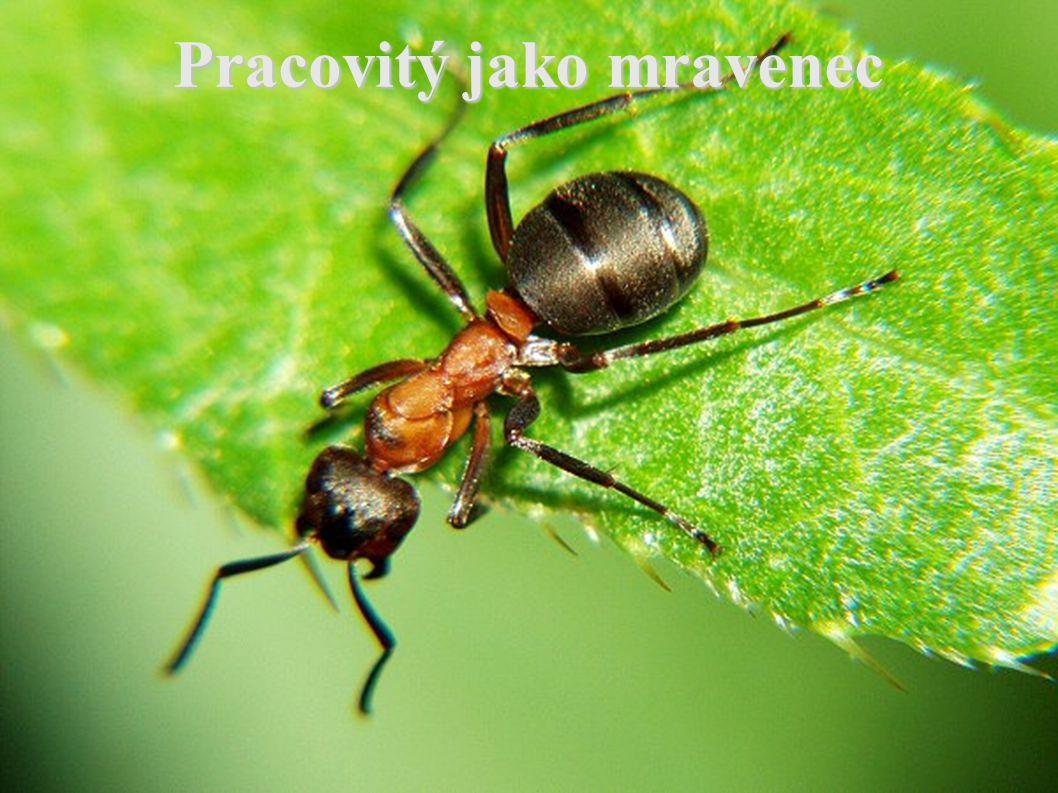 Popis  Mravenci jsou drobný blanokřídlý hmyz s velikostí od několika milimetrů po několik centimetrů.