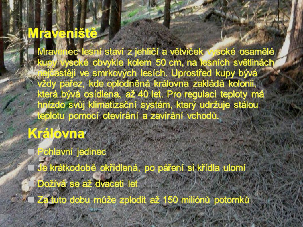 Mraveniště  Mravenec lesní staví z jehličí a větviček vysoké osamělé kupy vysoké obvykle kolem 50 cm, na lesních světlinách nejčastěji ve smrkových l