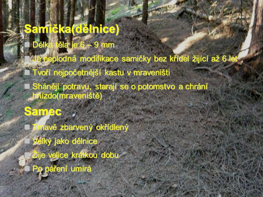 Legislativní ochrana  Mravenec je mimořádně užitečný druh hmyzu hubící velké množství lesních škůdců.