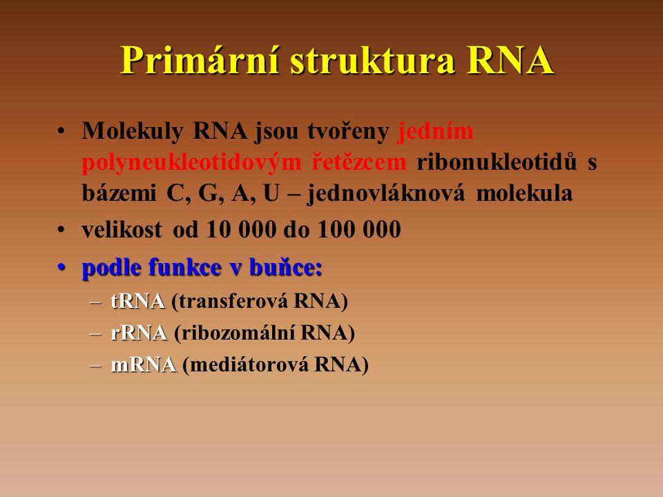 Primární struktura RNA •Molekuly RNA jsou tvořeny jedním polyneukleotidovým řetězcem ribonukleotidů s bázemi C, G, A, U – jednovláknová molekula •velikost od 10 000 do 100 000 •podle funkce v buňce: –tRNA –tRNA (transferová RNA) –rRNA –rRNA (ribozomální RNA) –mRNA –mRNA (mediátorová RNA)