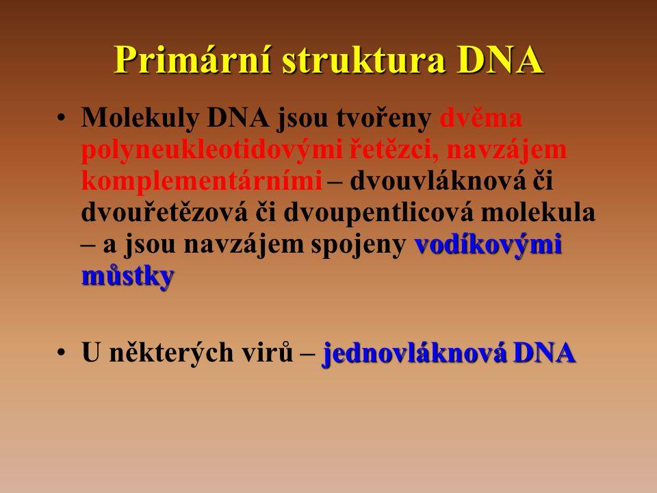 Primární struktura DNA vodíkovými můstky •Molekuly DNA jsou tvořeny dvěma polyneukleotidovými řetězci, navzájem komplementárními – dvouvláknová či dvouřetězová či dvoupentlicová molekula – a jsou navzájem spojeny vodíkovými můstky jednovláknová DNA •U některých virů – jednovláknová DNA