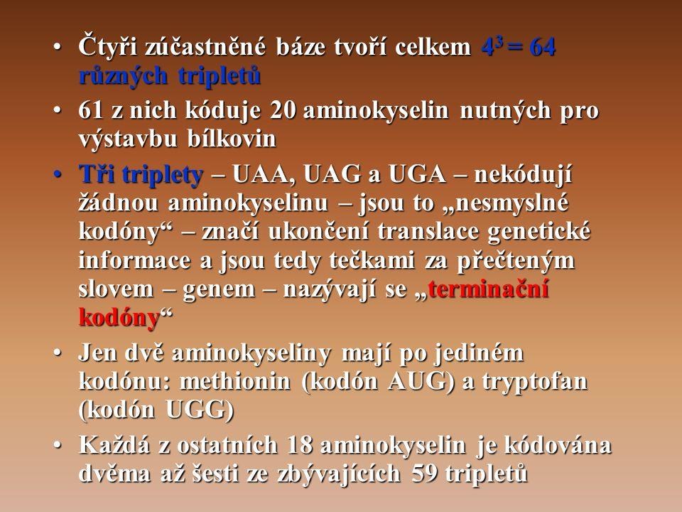"""•Čtyři zúčastněné báze tvoří celkem 4 3 = 64 různých tripletů •61 z nich kóduje 20 aminokyselin nutných pro výstavbu bílkovin •Tři triplety – UAA, UAG a UGA – nekódují žádnou aminokyselinu – jsou to """"nesmyslné kodóny – značí ukončení translace genetické informace a jsou tedy tečkami za přečteným slovem – genem – nazývají se """"terminační kodóny •Jen dvě aminokyseliny mají po jediném kodónu: methionin (kodón AUG) a tryptofan (kodón UGG) •Každá z ostatních 18 aminokyselin je kódována dvěma až šesti ze zbývajících 59 tripletů"""