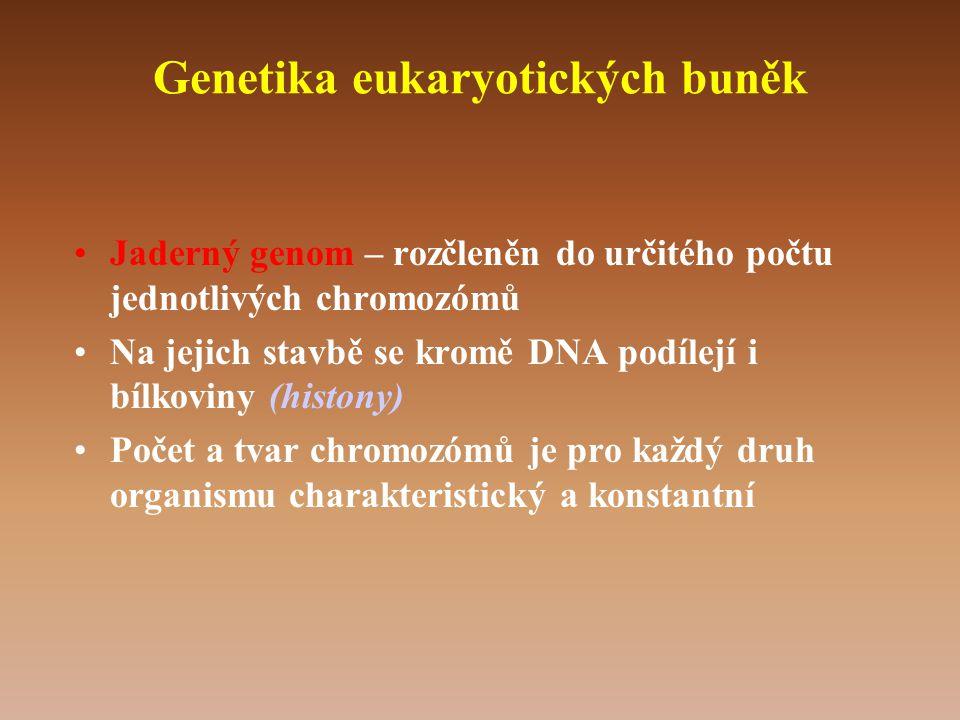 Genetika eukaryotických buněk •Jaderný genom – rozčleněn do určitého počtu jednotlivých chromozómů •Na jejich stavbě se kromě DNA podílejí i bílkoviny (histony) •Počet a tvar chromozómů je pro každý druh organismu charakteristický a konstantní