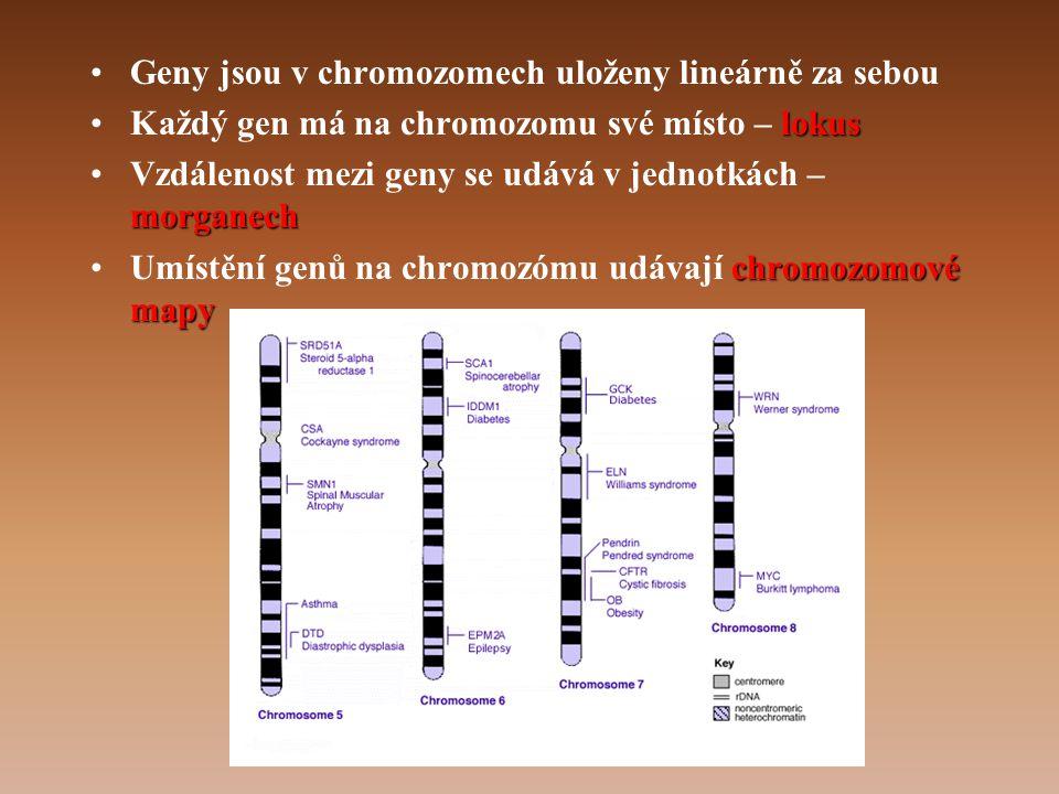 •Geny jsou v chromozomech uloženy lineárně za sebou lokus •Každý gen má na chromozomu své místo – lokus morganech •Vzdálenost mezi geny se udává v jednotkách – morganech chromozomové mapy •Umístění genů na chromozómu udávají chromozomové mapy