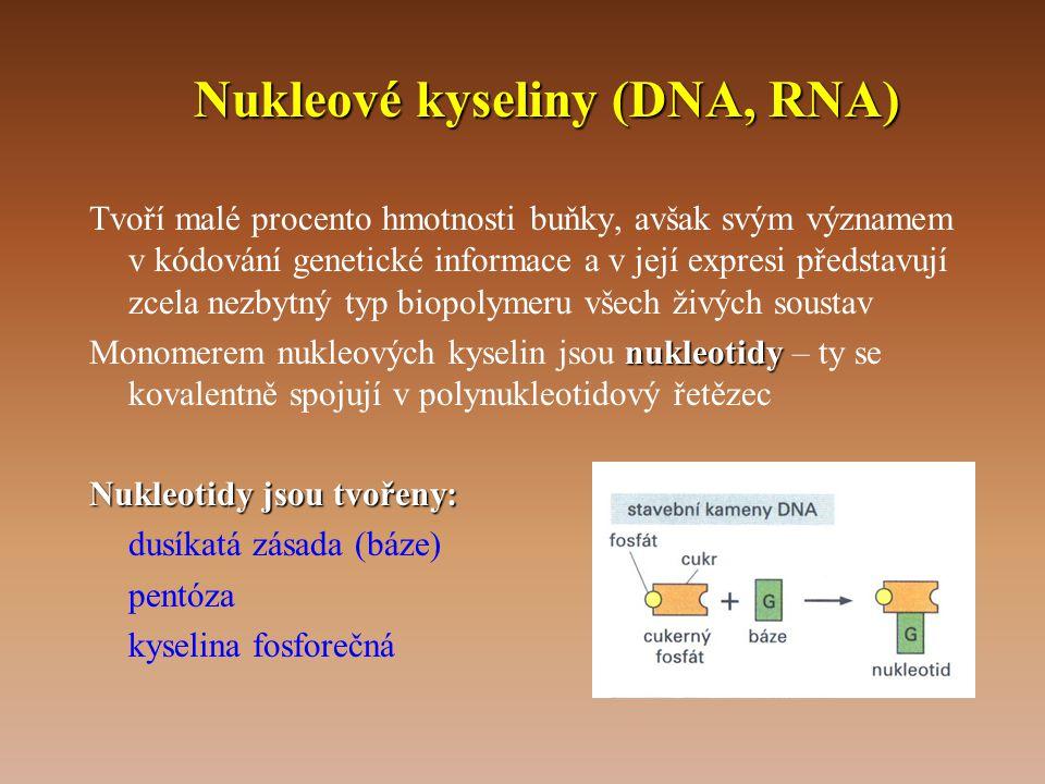 Nukleové kyseliny (DNA, RNA) Tvoří malé procento hmotnosti buňky, avšak svým významem v kódování genetické informace a v její expresi představují zcela nezbytný typ biopolymeru všech živých soustav nukleotidy Monomerem nukleových kyselin jsou nukleotidy – ty se kovalentně spojují v polynukleotidový řetězec Nukleotidy jsou tvořeny: dusíkatá zásada (báze) pentóza kyselina fosforečná
