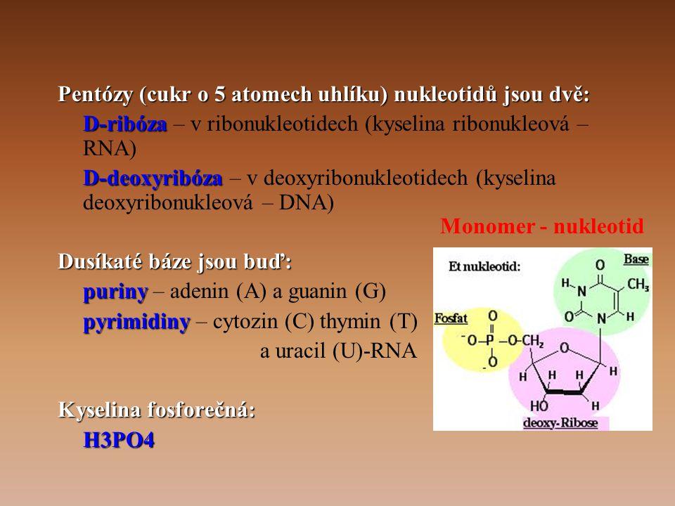 •GEN – úsek polynukleotidového řetězce, který kóduje primární strukturu polypeptidu jako translačního produktu nebo se přepisuje do primární struktury tRNA či rRNA •Podle biologického smyslu: –geny strukturní –geny pro RNA