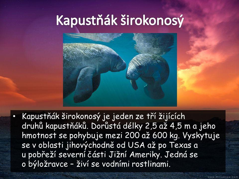 • Kapustňák širokonosý je jeden ze tří žijících druhů kapustňáků. Dorůstá délky 2,5 až 4,5 m a jeho hmotnost se pohybuje mezi 200 až 600 kg. Vyskytuje