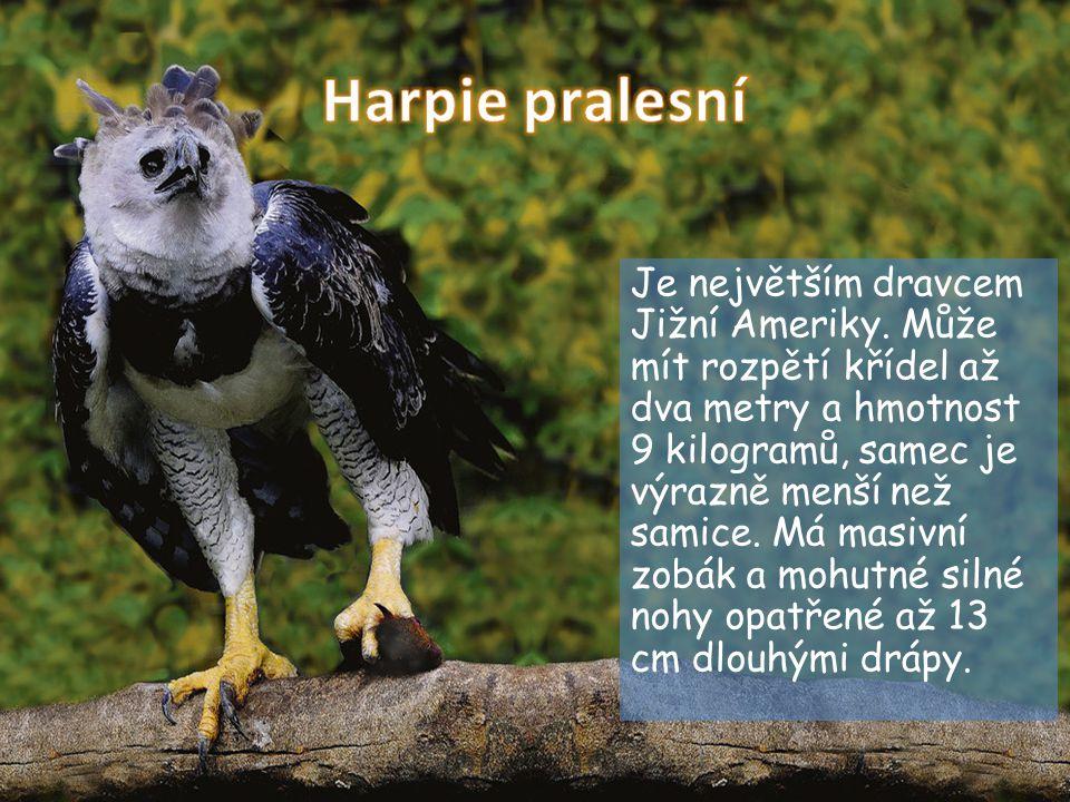 Je největším dravcem Jižní Ameriky. Může mít rozpětí křídel až dva metry a hmotnost 9 kilogramů, samec je výrazně menší než samice. Má masivní zobák a