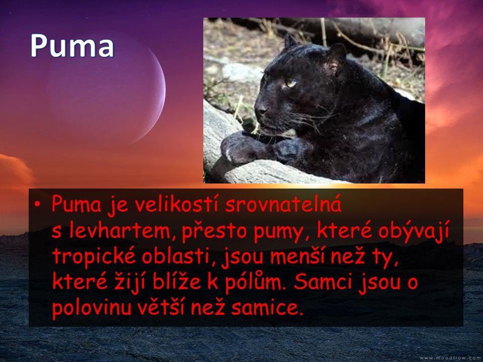 • Puma je velikostí srovnatelná s levhartem, přesto pumy, které obývají tropické oblasti, jsou menší než ty, které žijí blíže k pólům. Samci jsou o po