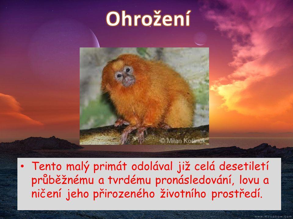 • Tento malý primát odolával již celá desetiletí průběžnému a tvrdému pronásledování, lovu a ničení jeho přirozeného životního prostředí.