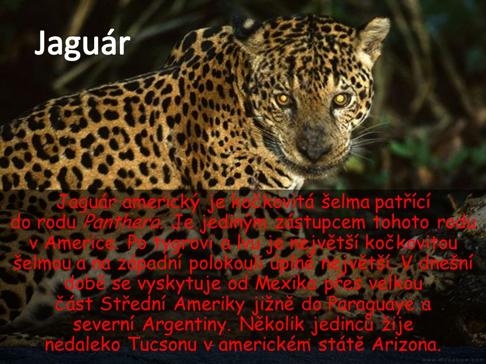 Jaguár americký je kočkovitá šelma patřící do rodu Panthera. Je jediným zástupcem tohoto rodu v Americe. Po tygrovi a lvu je největší kočkovitou šelmo