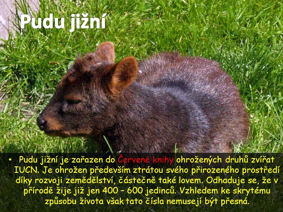 • Pudu jižní je zařazen do Červené knihy ohrožených druhů zvířat IUCN. Je ohrožen především ztrátou svého přirozeného prostředí díky rozvoji zemědělst