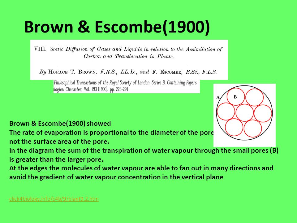 Brown & Escombe(1900) Brown & Escombe(1900) showed The rate of evaporation is proportional to the diameter of the pore not the surface area of the por