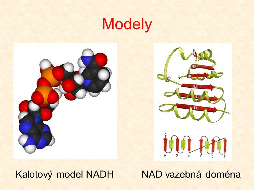 Modely Kalotový model NADHNAD vazebná doména