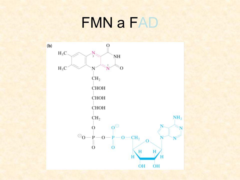FMN a FAD
