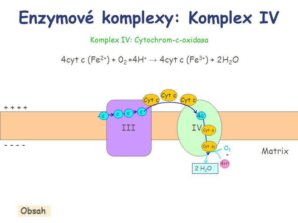 + + - - Enzymové komplexy: Komplex IV IIIIV Cyt c 2 H 2 O 4H + 4e-4e- e-e- e-e- O2+O2+ Komplex IV: Cytochrom-c-oxidasa 4cyt c (Fe 2+ ) + 0 2 +4H + → 4