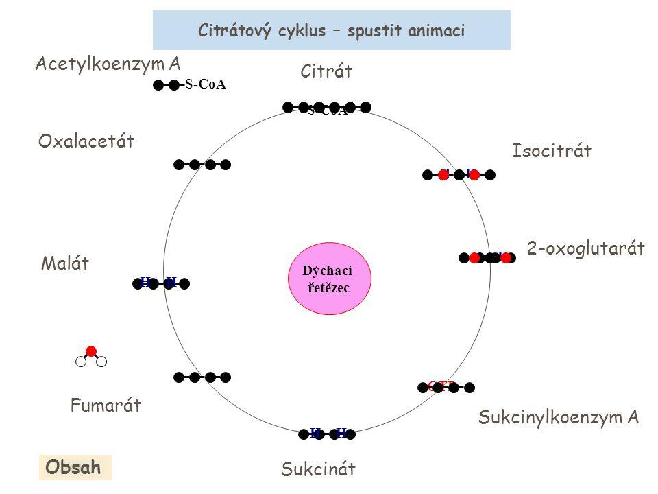 Oxalacetát Citrát S-CoA Acetylkoenzym A Isocitrát 2-oxoglutarát Sukcinylkoenzym A Sukcinát Fumarát Malát H S-CoA H GTP H Dýchací řetězec Citrátový cyk