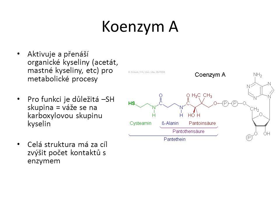 Koenzym A • Aktivuje a přenáší organické kyseliny (acetát, mastné kyseliny, etc) pro metabolické procesy • Pro funkci je důležitá –SH skupina = váže se na karboxylovou skupinu kyselin • Celá struktura má za cíl zvýšit počet kontaktů s enzymem
