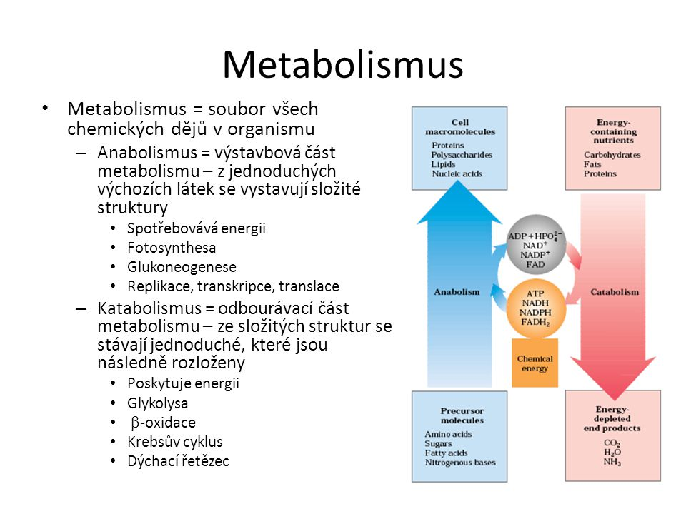Metabolismus • Metabolismus = soubor všech chemických dějů v organismu – Anabolismus = výstavbová část metabolismu – z jednoduchých výchozích látek se vystavují složité struktury • Spotřebovává energii • Fotosynthesa • Glukoneogenese • Replikace, transkripce, translace – Katabolismus = odbourávací část metabolismu – ze složitých struktur se stávají jednoduché, které jsou následně rozloženy • Poskytuje energii • Glykolysa •  -oxidace • Krebsův cyklus • Dýchací řetězec
