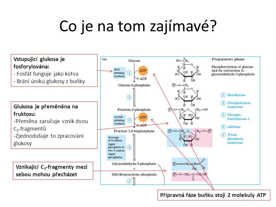 Co je na tom zajímavé? Vstupující glukosa je fosforylována: - Fosfát funguje jako kotva - Brání úniku glukosy z buňky Glukosa je přeměněna na fruktosu