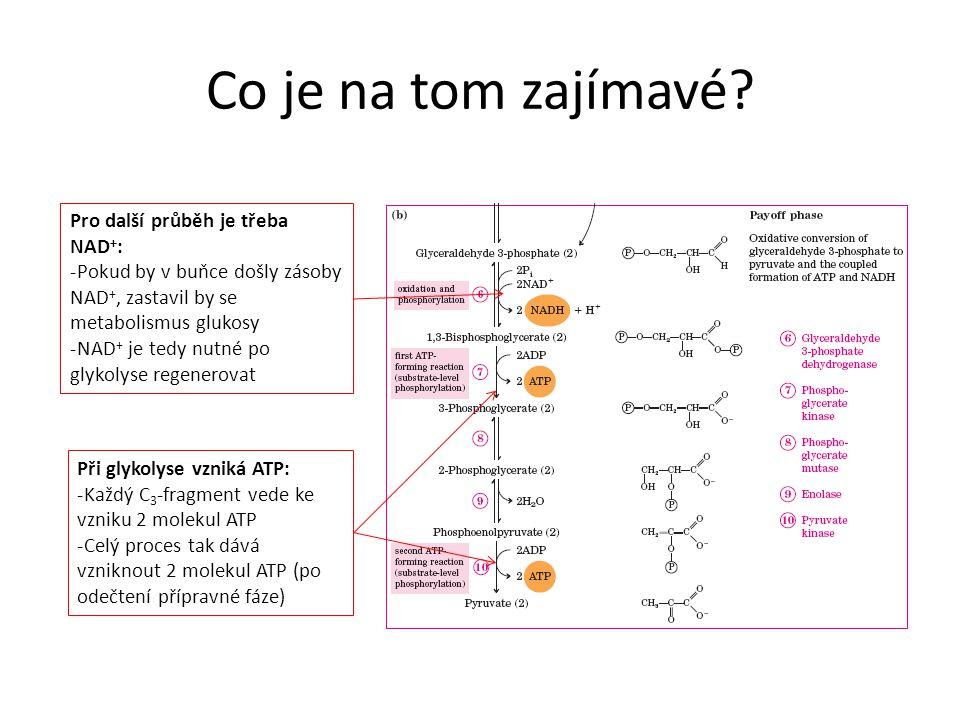 Co je na tom zajímavé? Pro další průběh je třeba NAD + : -Pokud by v buňce došly zásoby NAD +, zastavil by se metabolismus glukosy -NAD + je tedy nutn