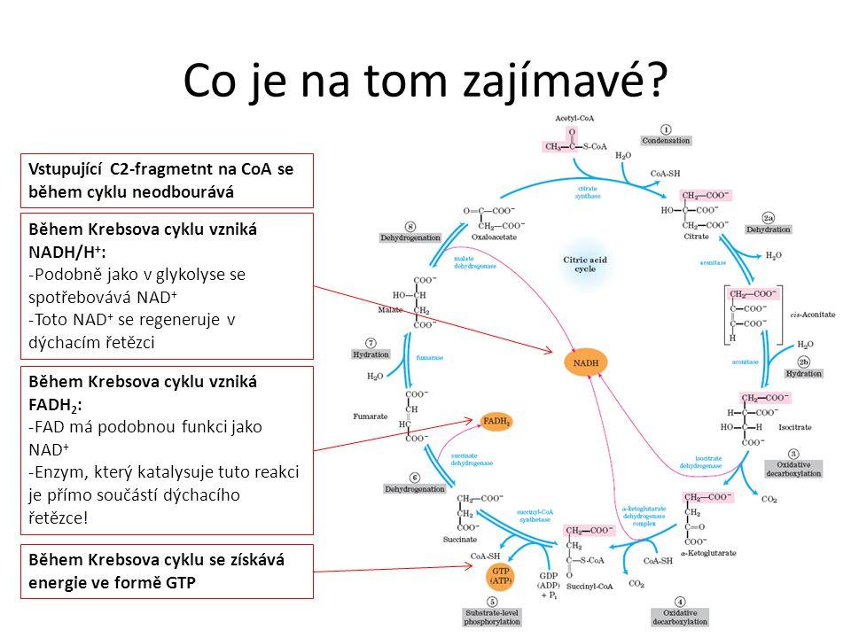 Co je na tom zajímavé? Vstupující C2-fragmetnt na CoA se během cyklu neodbourává Během Krebsova cyklu vzniká NADH/H + : -Podobně jako v glykolyse se s