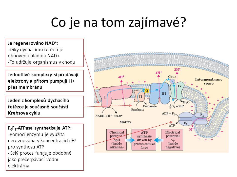 Co je na tom zajímavé? Je regenerováno NAD + : -Díky dýchacímu řetězci je obnovena hladina NAD+ -To udržuje organismus v chodu F 0 F 1 -ATPasa synthet