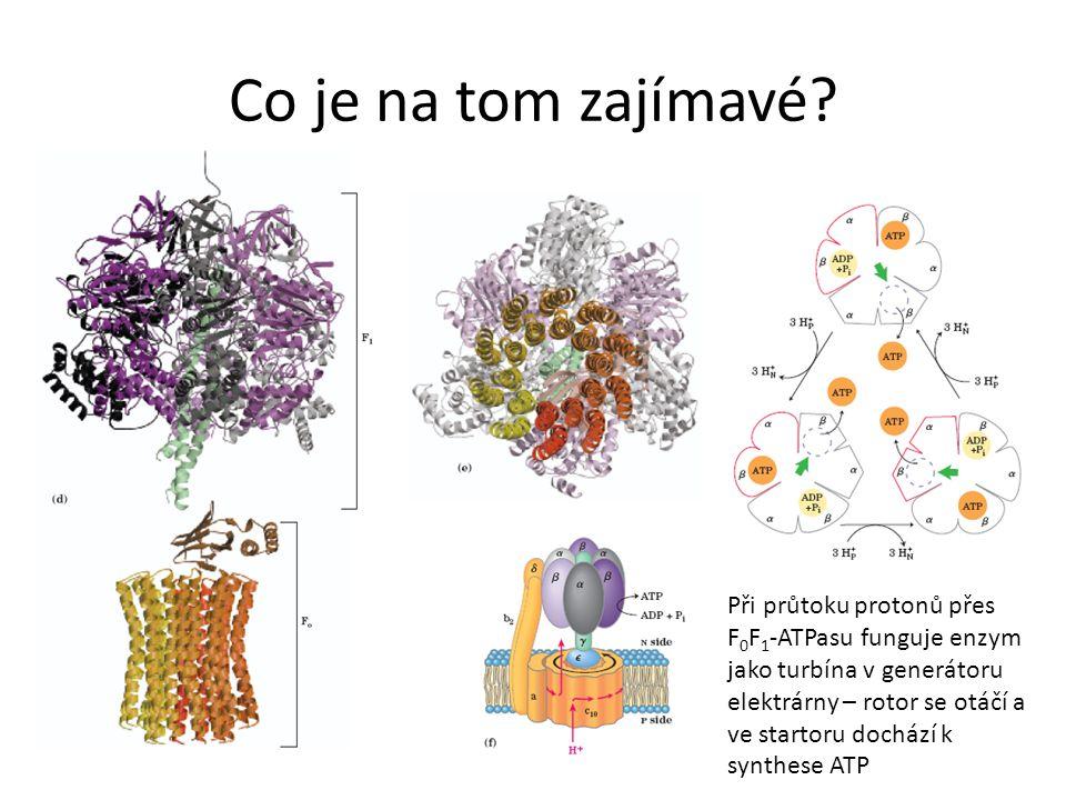 Co je na tom zajímavé? Při průtoku protonů přes F 0 F 1 -ATPasu funguje enzym jako turbína v generátoru elektrárny – rotor se otáčí a ve startoru doch