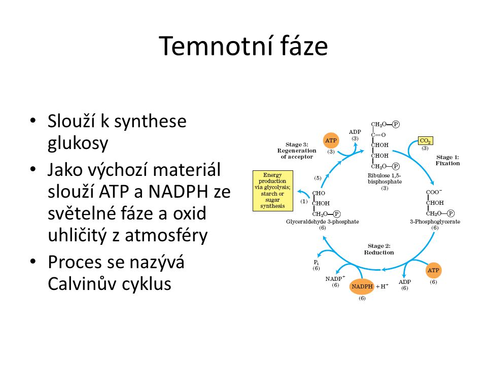 Temnotní fáze • Slouží k synthese glukosy • Jako výchozí materiál slouží ATP a NADPH ze světelné fáze a oxid uhličitý z atmosféry • Proces se nazývá Calvinův cyklus