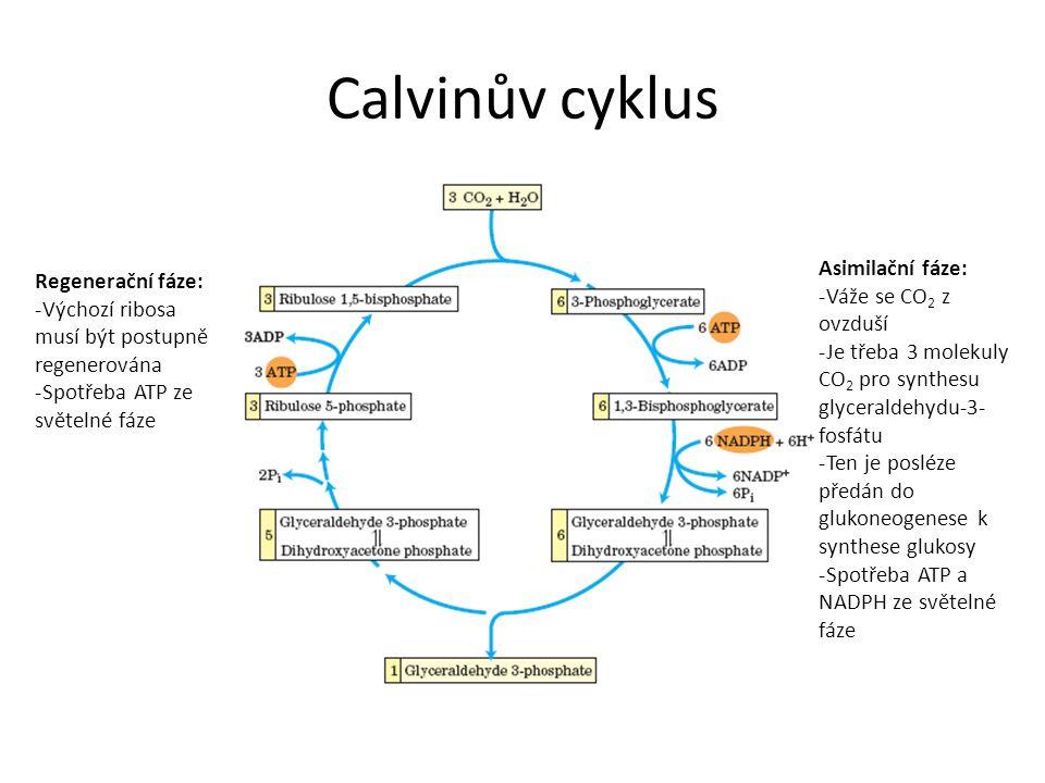 Calvinův cyklus Asimilační fáze: -Váže se CO 2 z ovzduší -Je třeba 3 molekuly CO 2 pro synthesu glyceraldehydu-3- fosfátu -Ten je posléze předán do glukoneogenese k synthese glukosy -Spotřeba ATP a NADPH ze světelné fáze Regenerační fáze: -Výchozí ribosa musí být postupně regenerována -Spotřeba ATP ze světelné fáze