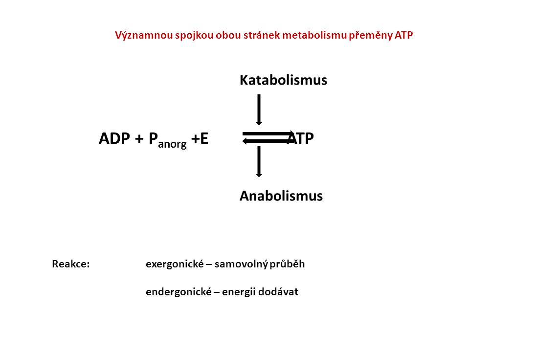 Významnou spojkou obou stránek metabolismu přeměny ATP Katabolismus ADP + P anorg +E ATP Anabolismus Reakce:exergonické – samovolný průběh endergonick
