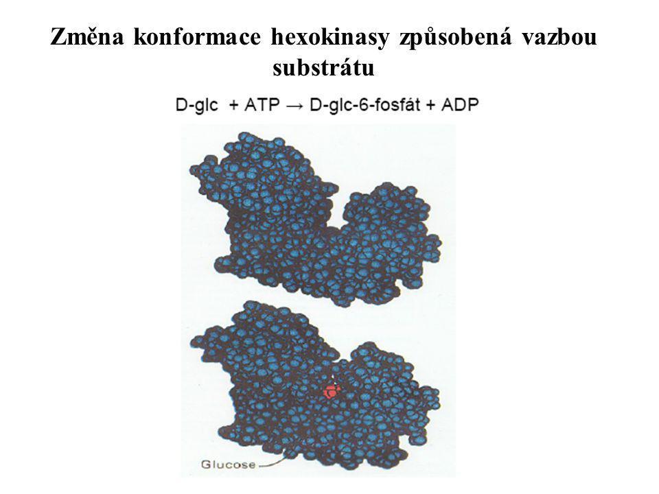 Změna konformace hexokinasy způsobená vazbou substrátu