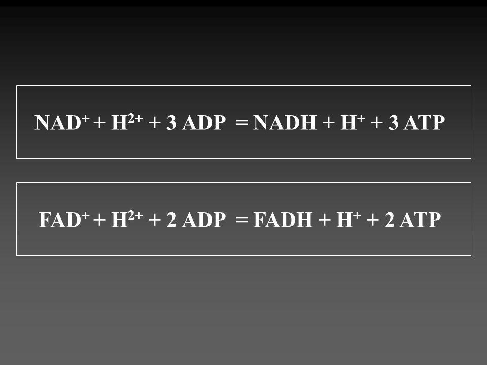 NAD + + H 2+ + 3 ADP = NADH + H + + 3 ATP FAD + + H 2+ + 2 ADP = FADH + H + + 2 ATP