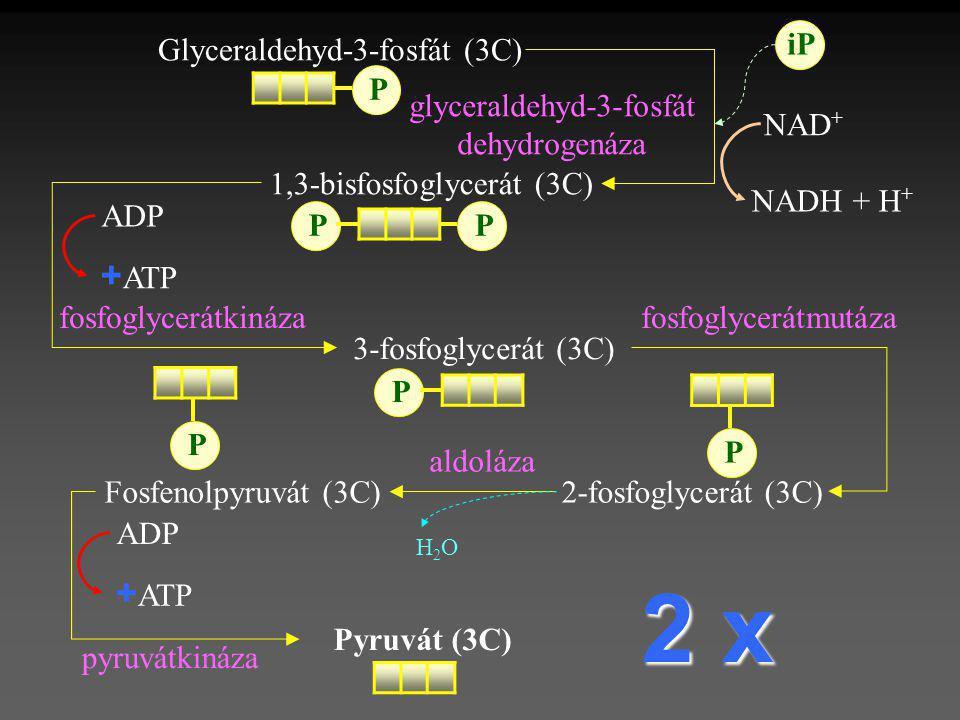 3-fosfoglycerát (3C) Pyruvát (3C) 1,3-bisfosfoglycerát (3C) P P 2-fosfoglycerát (3C) P NAD + NADH + H + + ATP ADP glyceraldehyd-3-fosfát dehydrogenáza