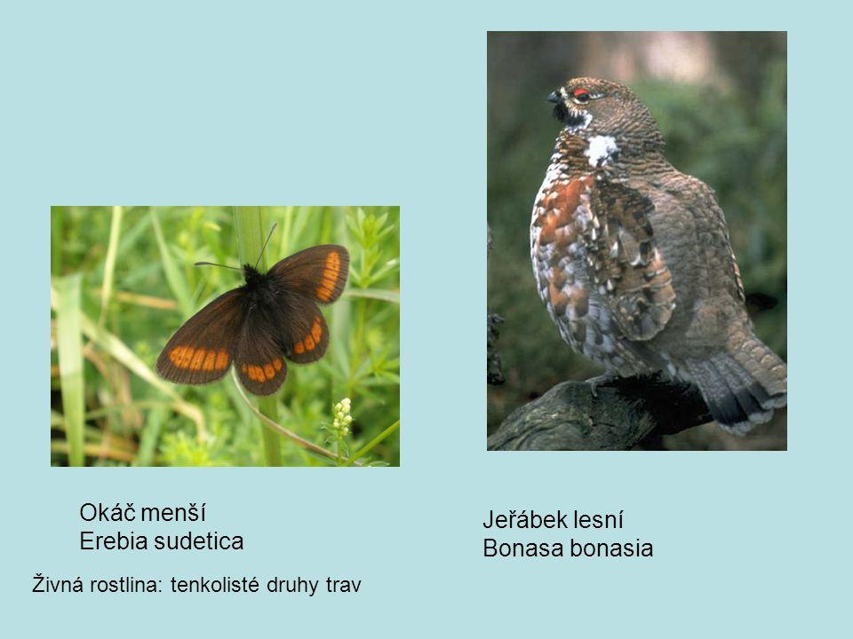 Okáč menší Erebia sudetica Živná rostlina: tenkolisté druhy trav Jeřábek lesní Bonasa bonasia
