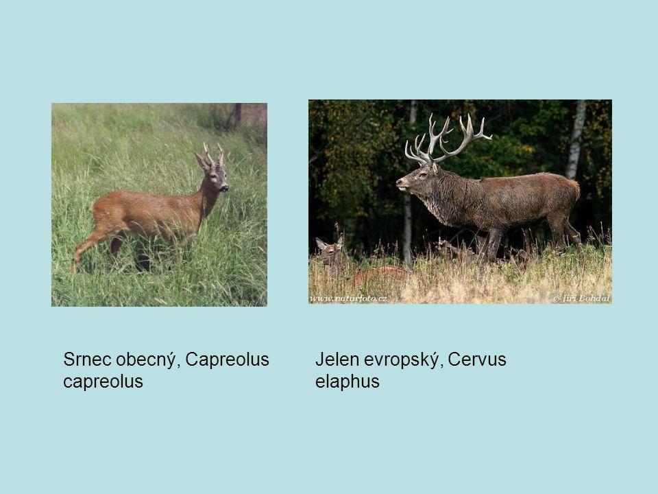 Srnec obecný, Capreolus capreolus Jelen evropský, Cervus elaphus