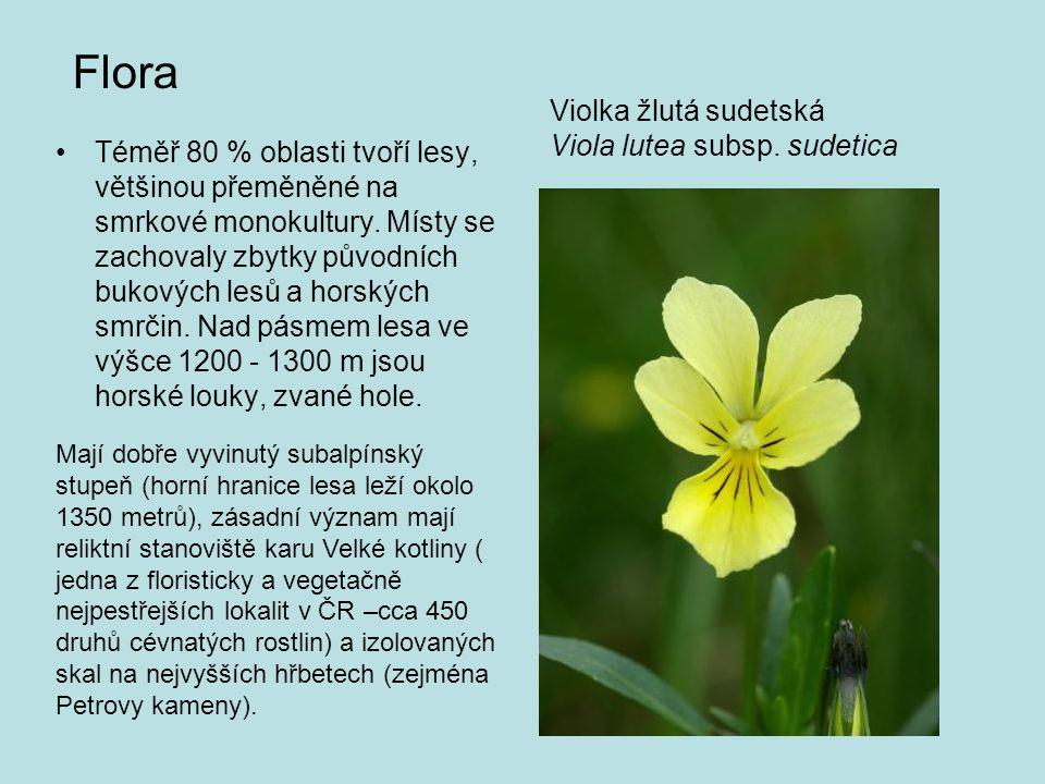Violka žlutá sudetská Viola lutea subsp. sudetica Flora •Téměř 80 % oblasti tvoří lesy, většinou přeměněné na smrkové monokultury. Místy se zachovaly
