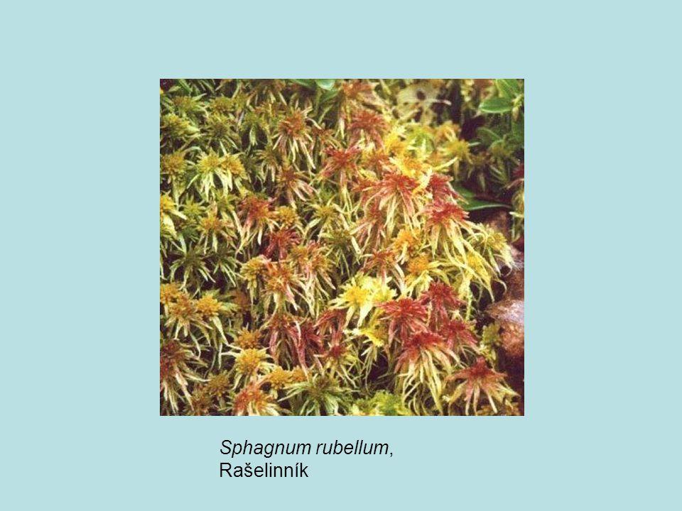 Sphagnum rubellum, Rašelinník