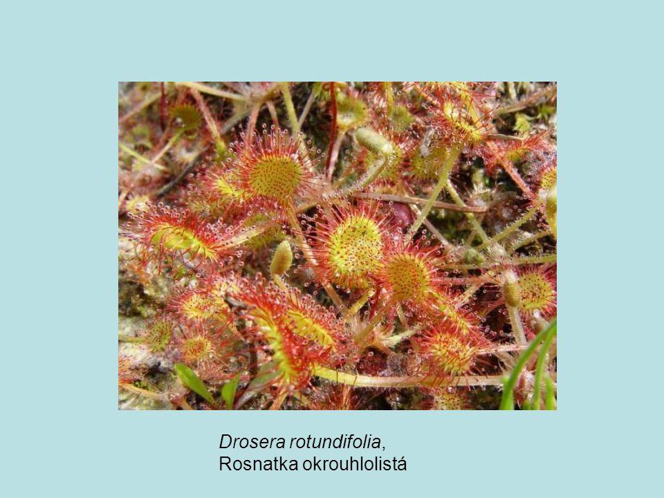 Drosera rotundifolia, Rosnatka okrouhlolistá