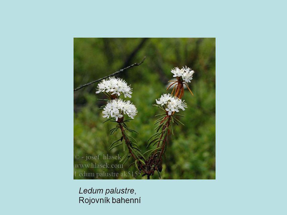 Ledum palustre, Rojovník bahenní