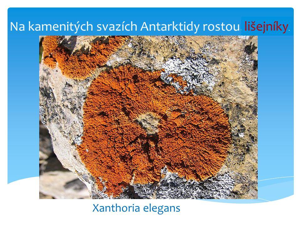 Na kamenitých svazích Antarktidy rostou……...... Xanthoria elegans lišejníky.