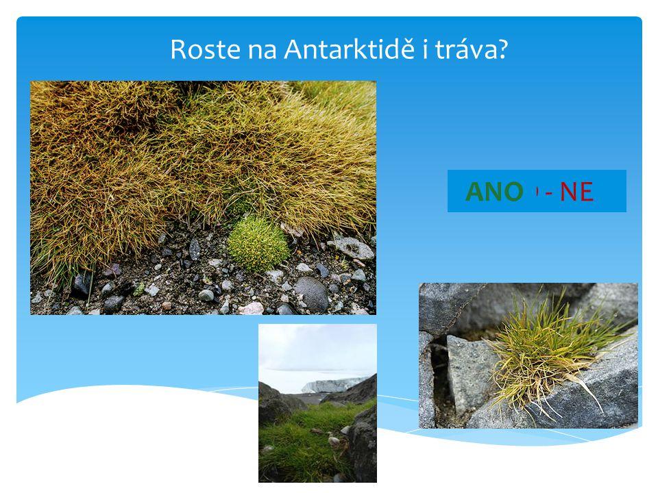 Roste na Antarktidě i tráva? ANO - NEANO