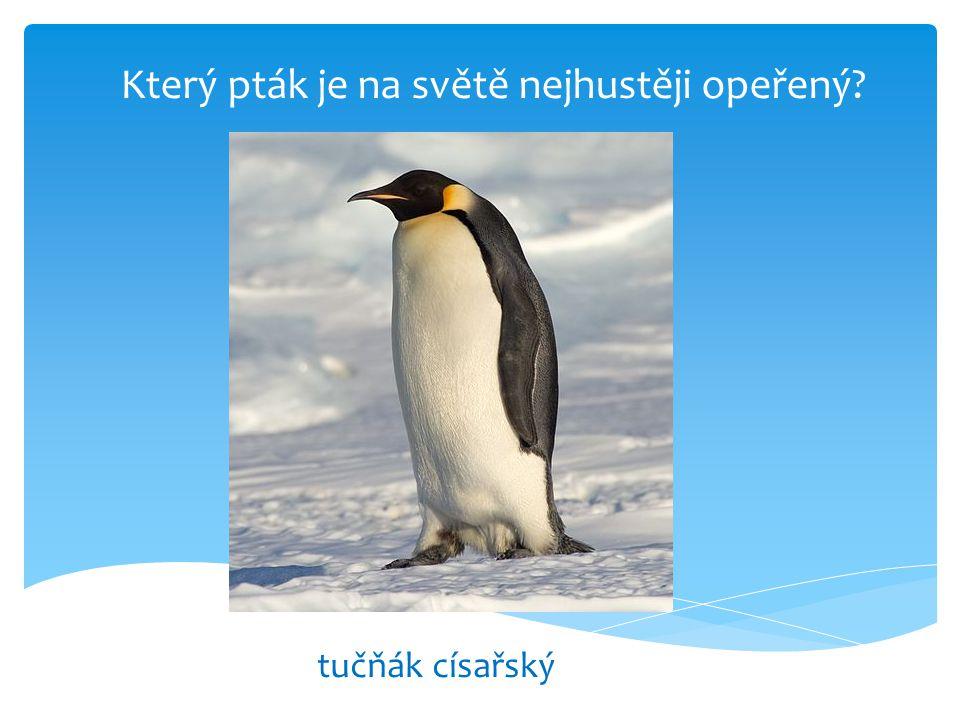 Který pták je na světě nejhustěji opeřený? tučňák císařský