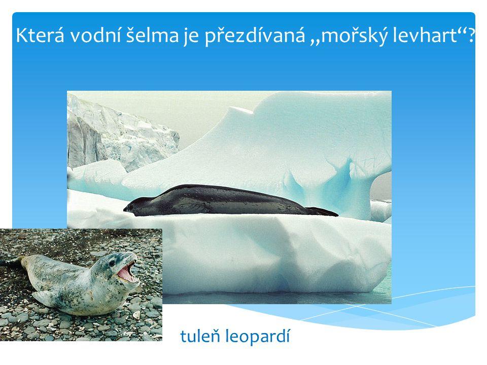 """Která vodní šelma je přezdívaná """"mořský levhart""""? tuleň leopardí"""