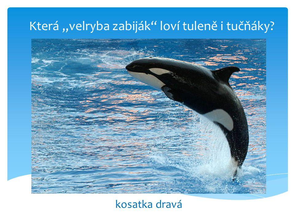 """Která """"velryba zabiják loví tuleně i tučňáky? kosatka dravá"""