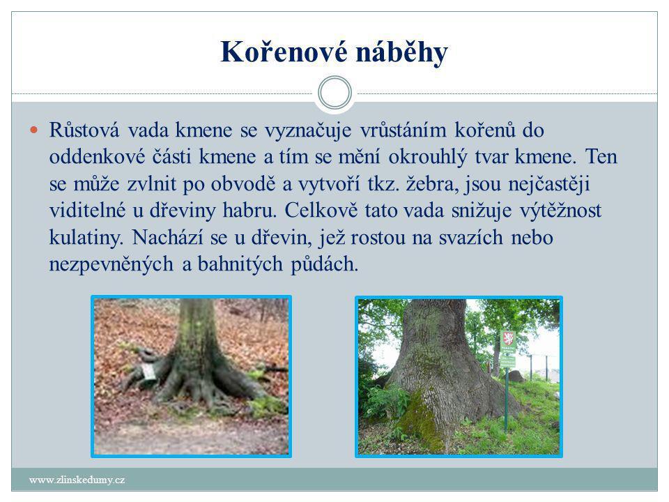 Kořenové náběhy www.zlinskedumy.cz  Růstová vada kmene se vyznačuje vrůstáním kořenů do oddenkové části kmene a tím se mění okrouhlý tvar kmene.
